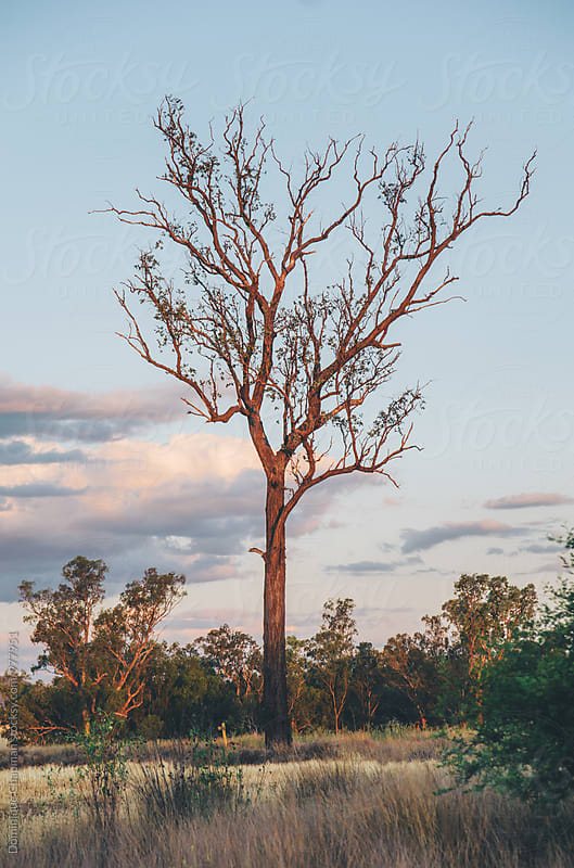 Lone, tall tree standing in a field by Dominique Chapman for Stocksy United