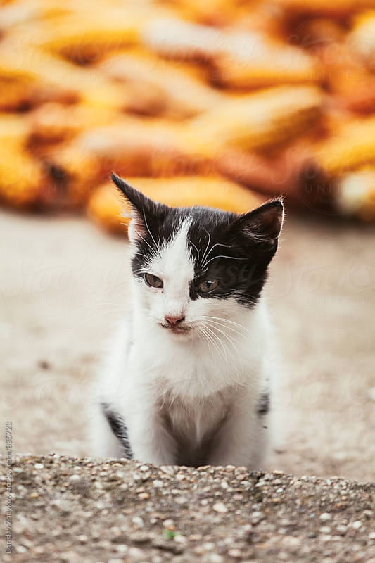 Black and white kitten by Borislav Zhuykov for Stocksy United
