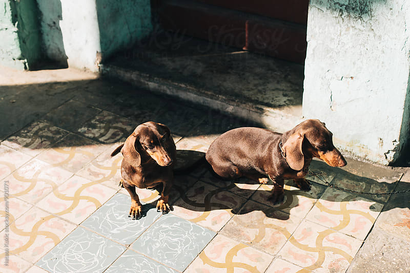 Two Dachshunds sitting in the street by Natasa Kukic for Stocksy United