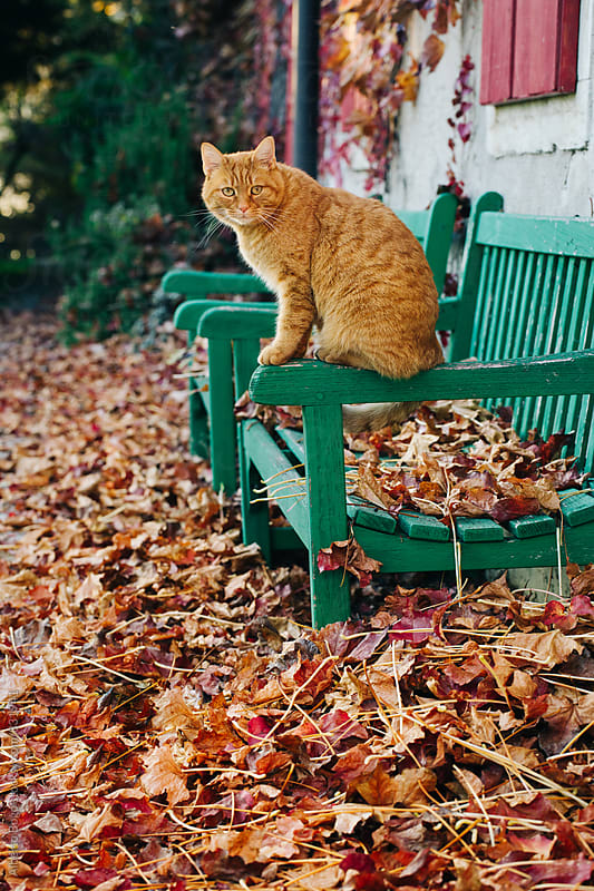 Orange cat standing on a bench by Alberto Bogo for Stocksy United