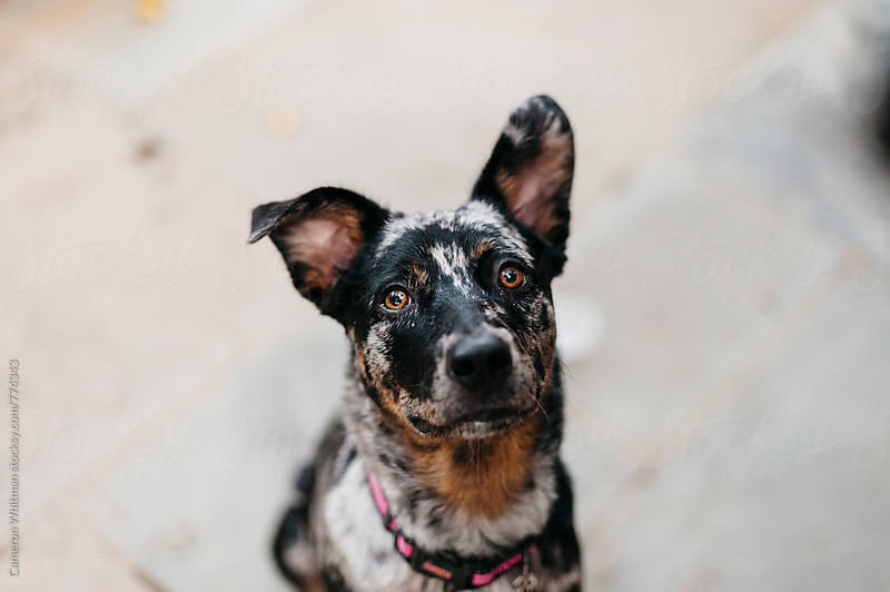 Curious Dog Portrait by Cameron Whitman for Stocksy United