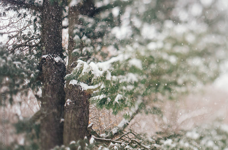 snow falling on white pine tree by Deirdre Malfatto for Stocksy United