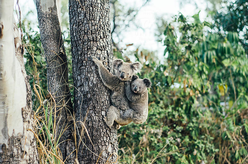 Mother and baby koala climbing a tree by Dominique Chapman for Stocksy United
