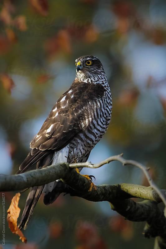 Sparrowhawk  by Gabriel Ozon for Stocksy United