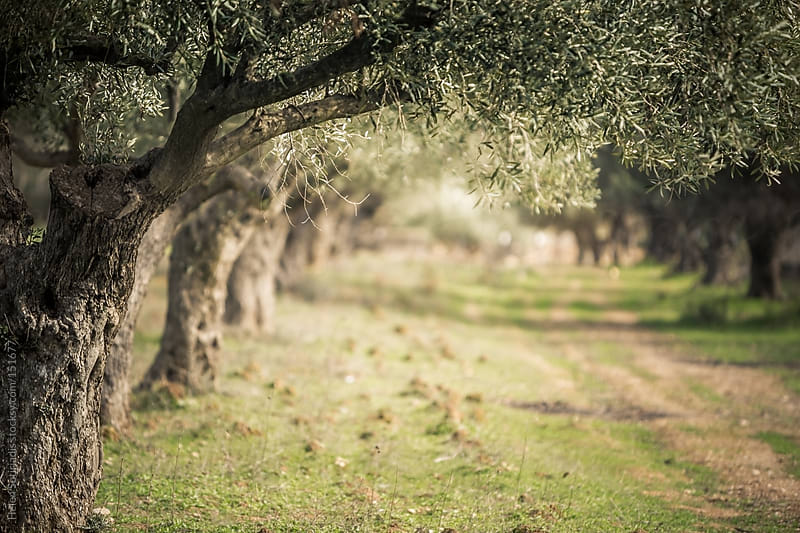 Olive Trees in Greece by Helen Sotiriadis for Stocksy United