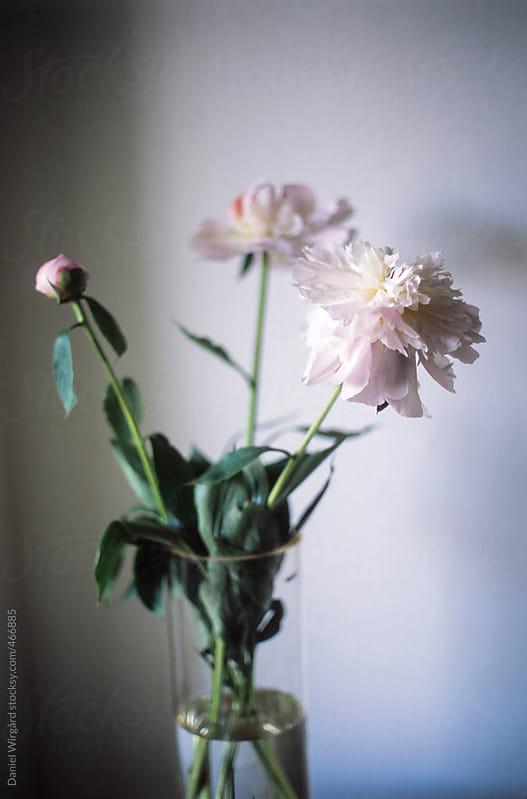 Peonies in a vase. by Daniel Wirgård for Stocksy United