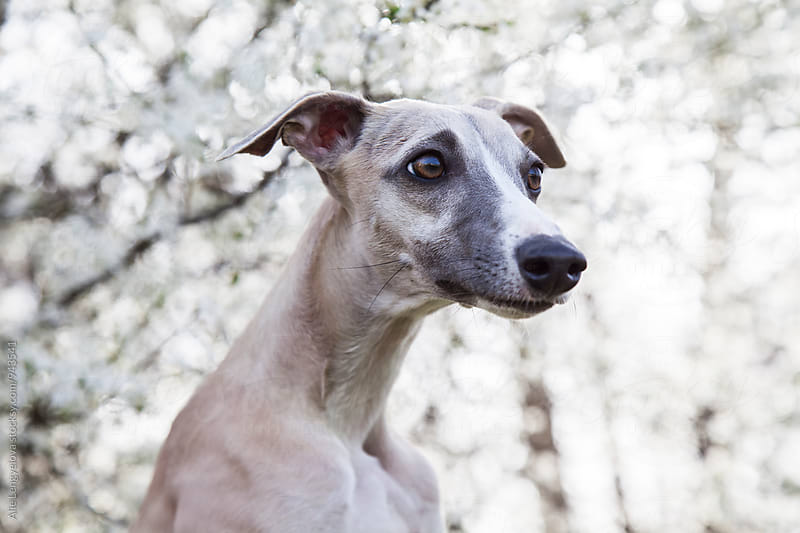 Cute Profile of Whippet  by Alie Lengyelova for Stocksy United