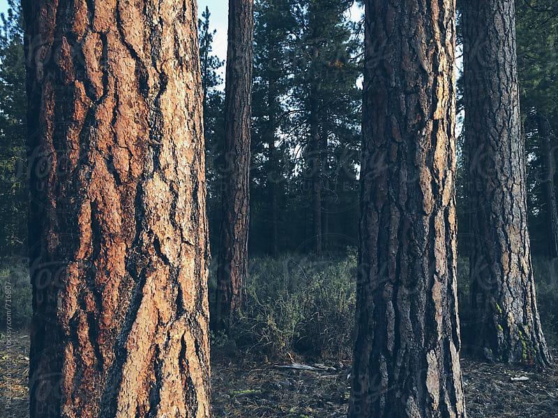 Ponderosa pine forest at dusk, Oregon by Paul Edmondson for Stocksy United