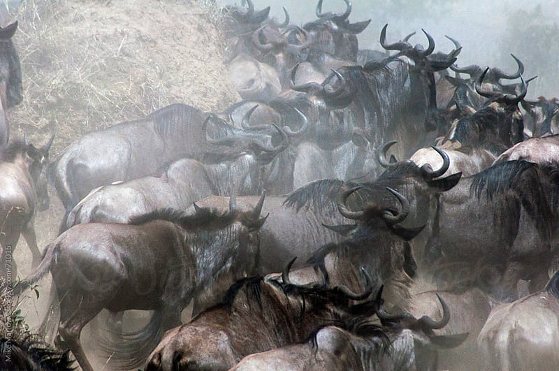 Herd of wilderbeest by the Mara river on the Masai Mara during t by Mike Marlowe for Stocksy United
