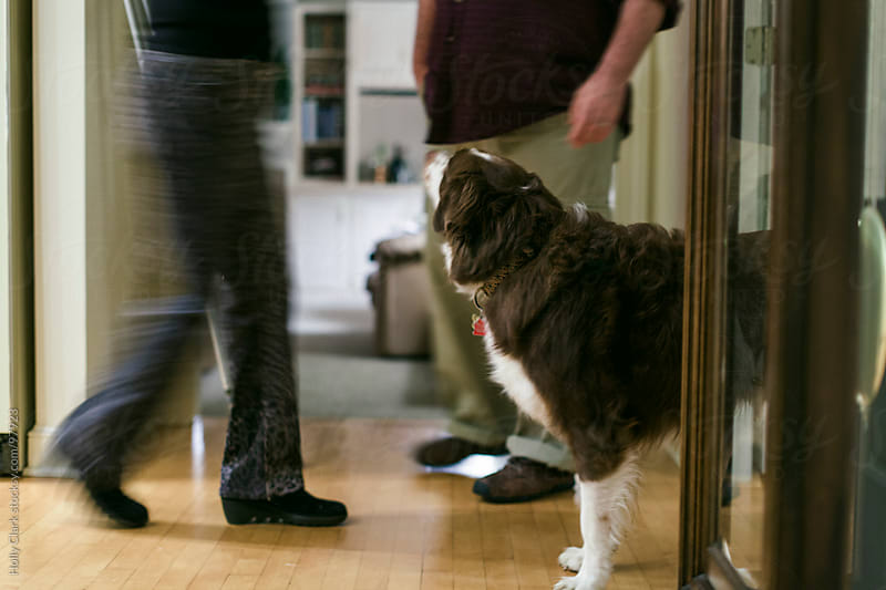 A dog looks up at his owners as they walk by him inside the hous by Holly Clark for Stocksy United