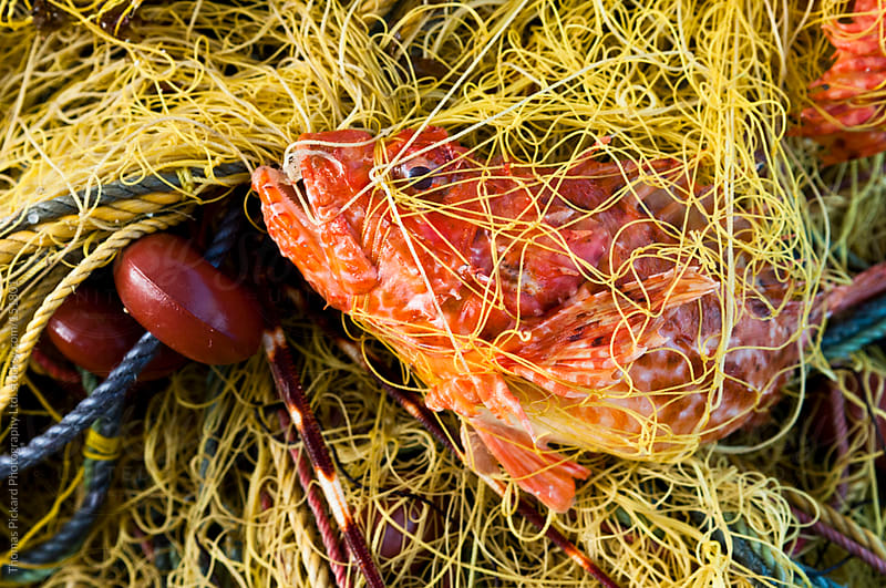 Fish trapped in a commercial fishing net, Fourni Islands, Greece by Thomas Pickard for Stocksy United