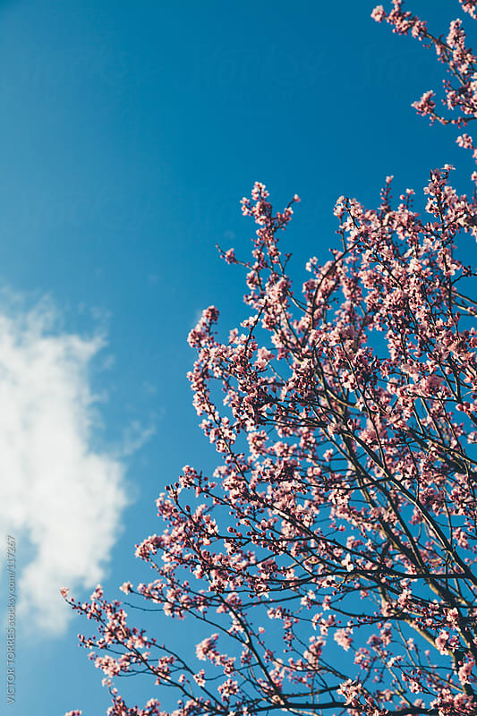 Almond Tree in Blossom by VICTOR TORRES for Stocksy United