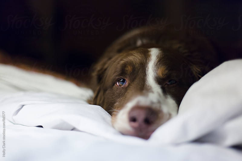 Closeup of a dog sleeping on a bed at night. by Holly Clark for Stocksy United