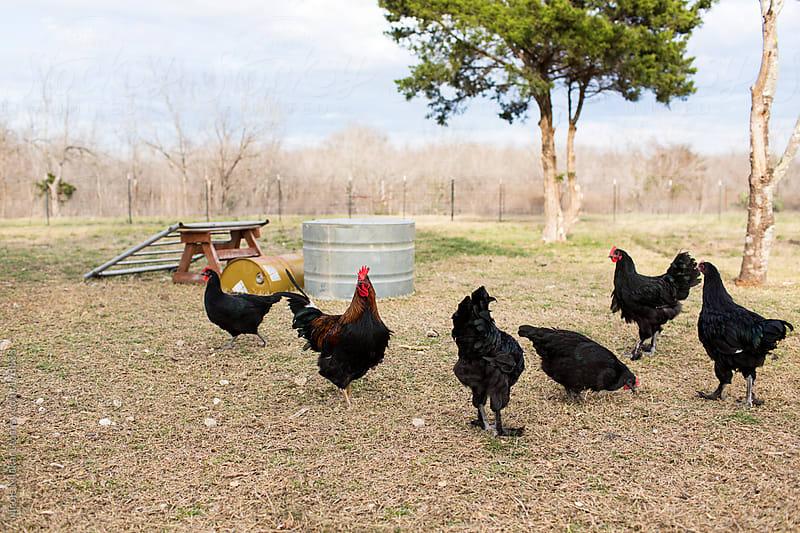 Chickens on a farm by Nicole Mlakar for Stocksy United
