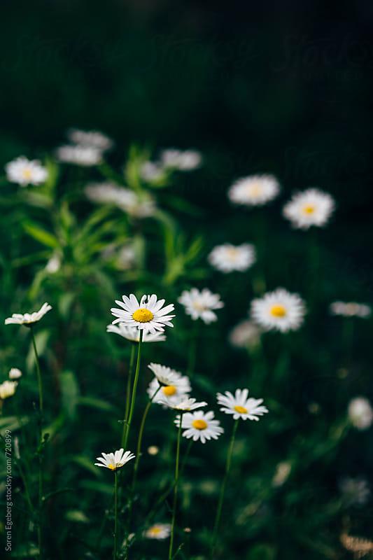 White daisies in bloom by Søren Egeberg Photography for Stocksy United