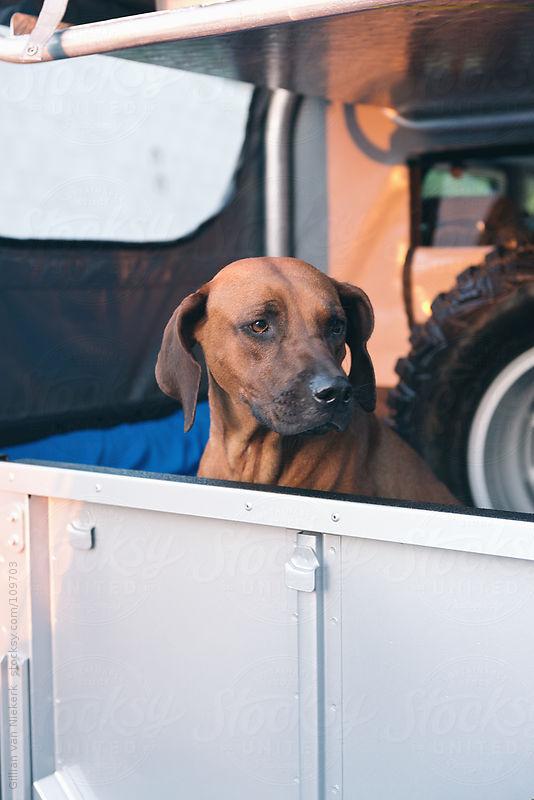 sad dog in back of car by Gillian Vann for Stocksy United