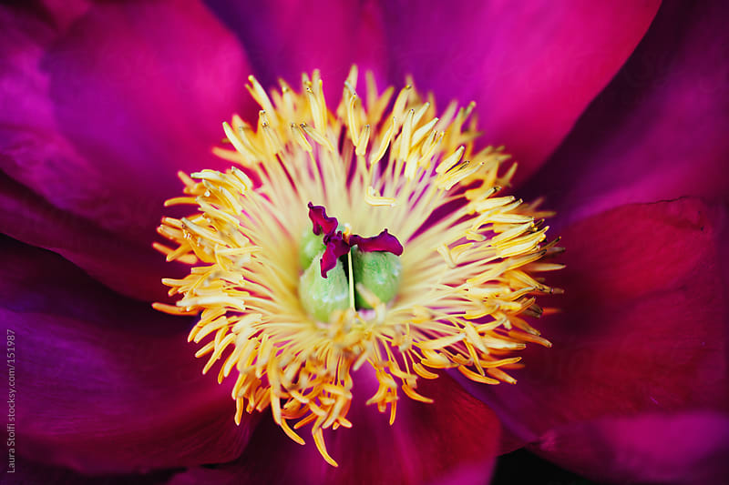 Extreme close up of pink peony flower head center by Laura Stolfi for Stocksy United