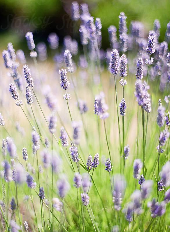 Lavender in field by Ali Harper for Stocksy United
