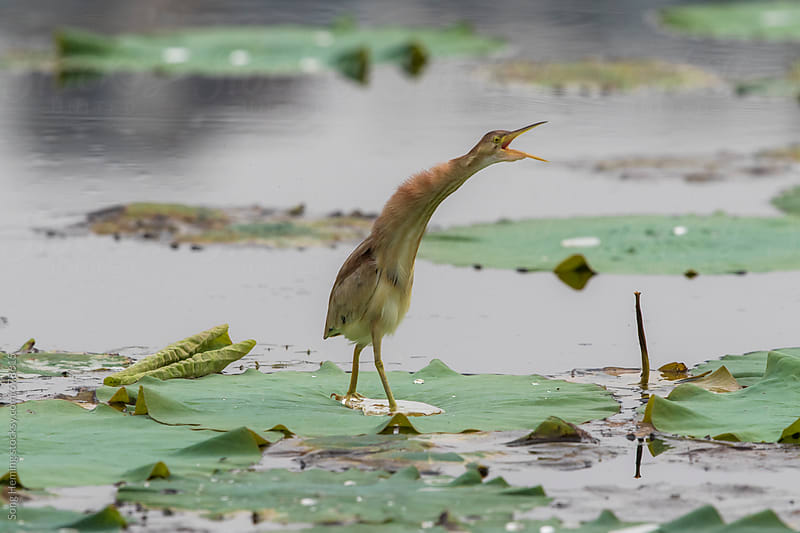 Yellow Bittern,Ixobrychus sinensis by Song Heming for Stocksy United