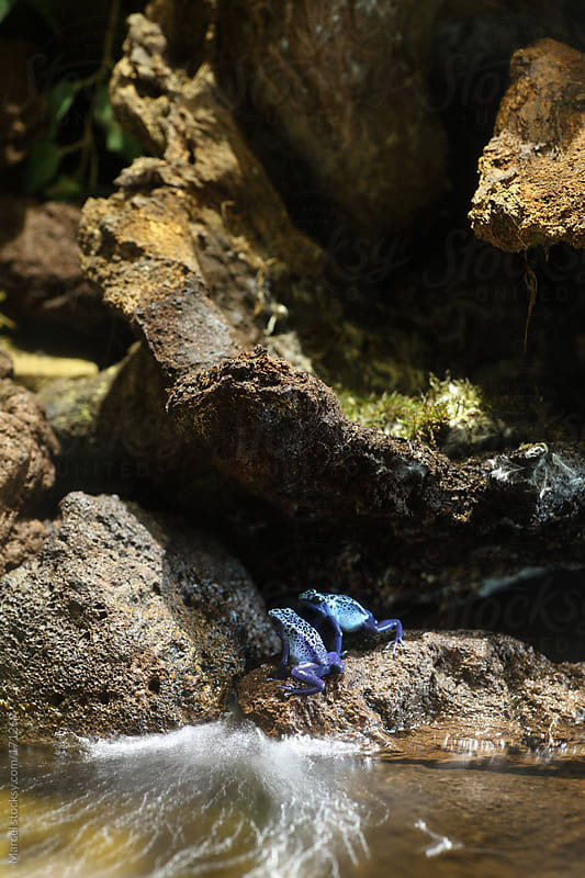 Blue poison dart frogs by Marcel for Stocksy United