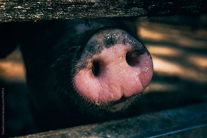 Pig snout behind a fence (close-up) by Claudia Lommel for Stocksy United