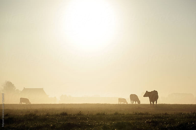 Cows in a meadow, during a misty sunrise by Marcel for Stocksy United