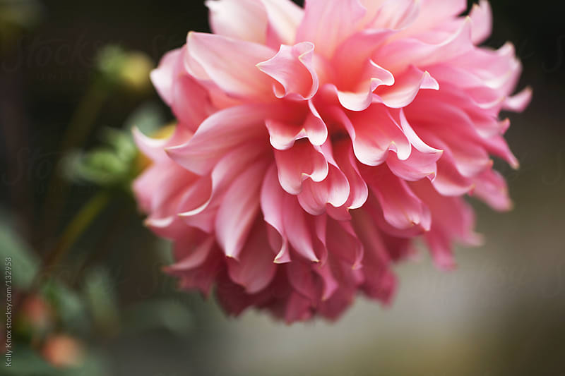 pink dahlia by Kelly Knox for Stocksy United