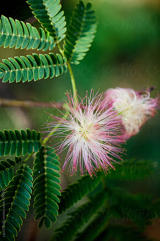 Close up of Albizia julibrissin flower in bloom by Laura Stolfi for Stocksy United