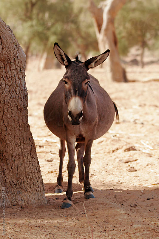 Donkey in the shadow of a tree at Dogon Country, Africa by Ferenc Boros for Stocksy United