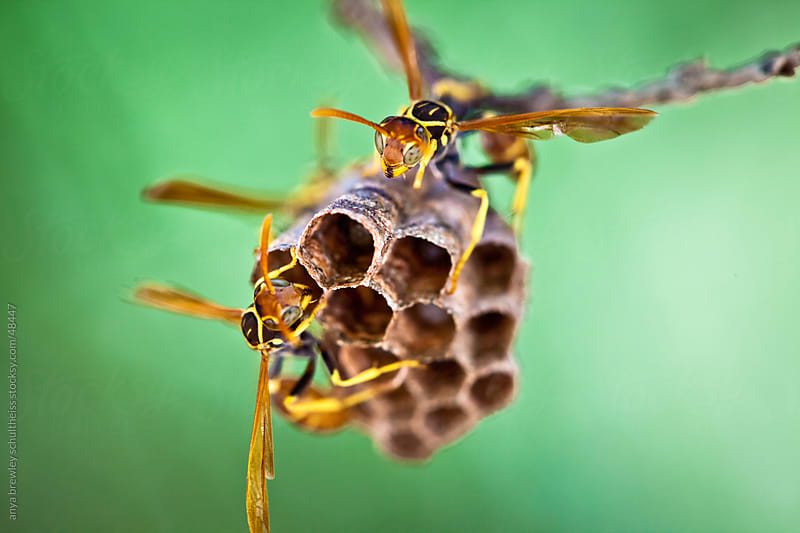 Image of a pair of wasps working on their nest by anya brewley schultheiss for Stocksy United