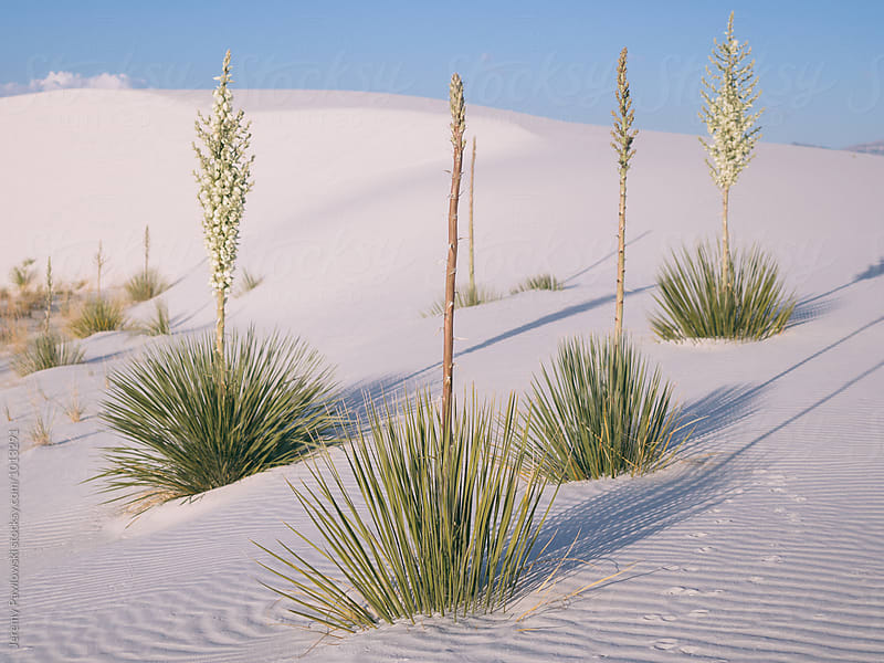 Vegetation with flowers in bloom. White Sands Park New Mexico by Jeremy Pawlowski for Stocksy United