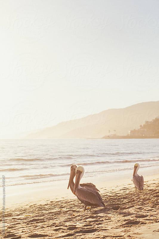 Three Pelicans On Malibu Beach by VISUALSPECTRUM for Stocksy United