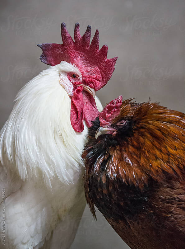 rooster and chicken in love by ALAN SHAPIRO for Stocksy United