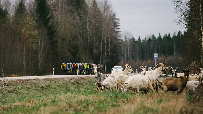 A herd of goats eat on a roadside. Cyclists in a group are about to pass them. by Tõnu Tunnel for Stocksy United