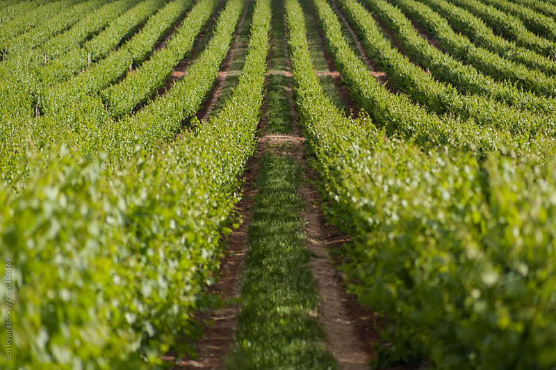 Low level view between two rows of grape vines by Ben Ryan for Stocksy United