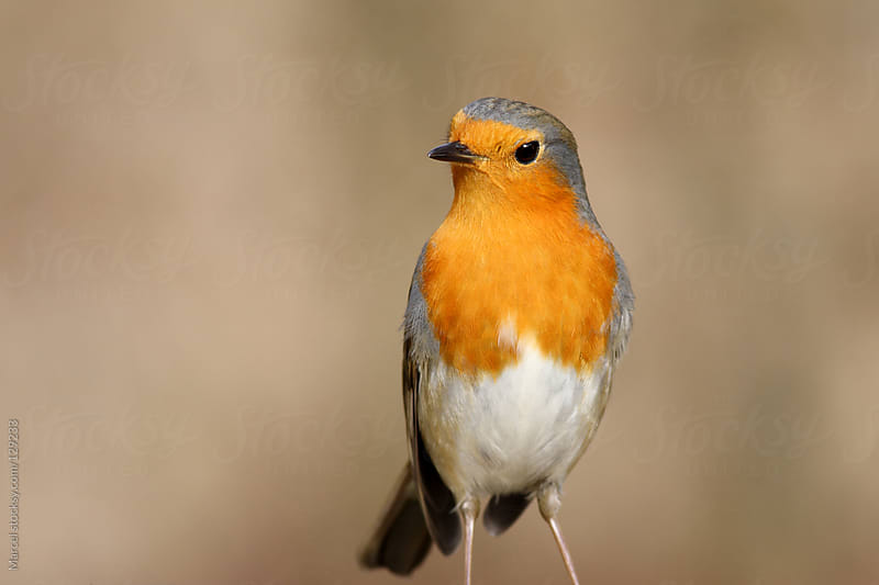 European robin standing upright by Marcel for Stocksy United