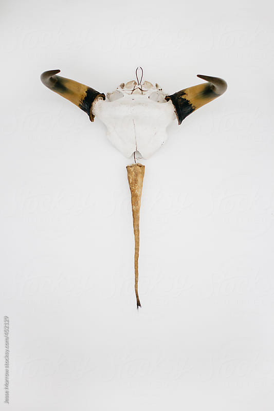 Animal Skull as wall decor by Jesse Morrow for Stocksy United