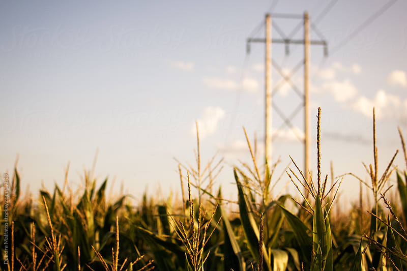 Electric poles in a field of corn by Deirdre Malfatto for Stocksy United