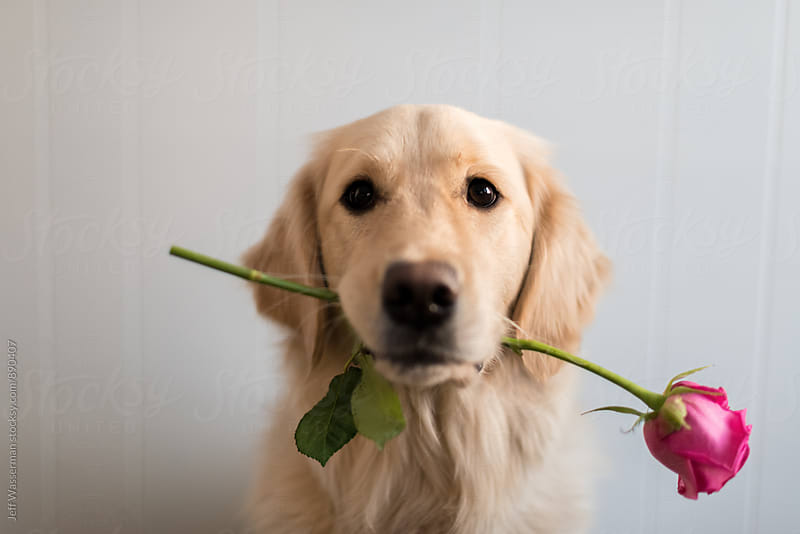 Dog with Rose in Mouth by Jeff Wasserman for Stocksy United