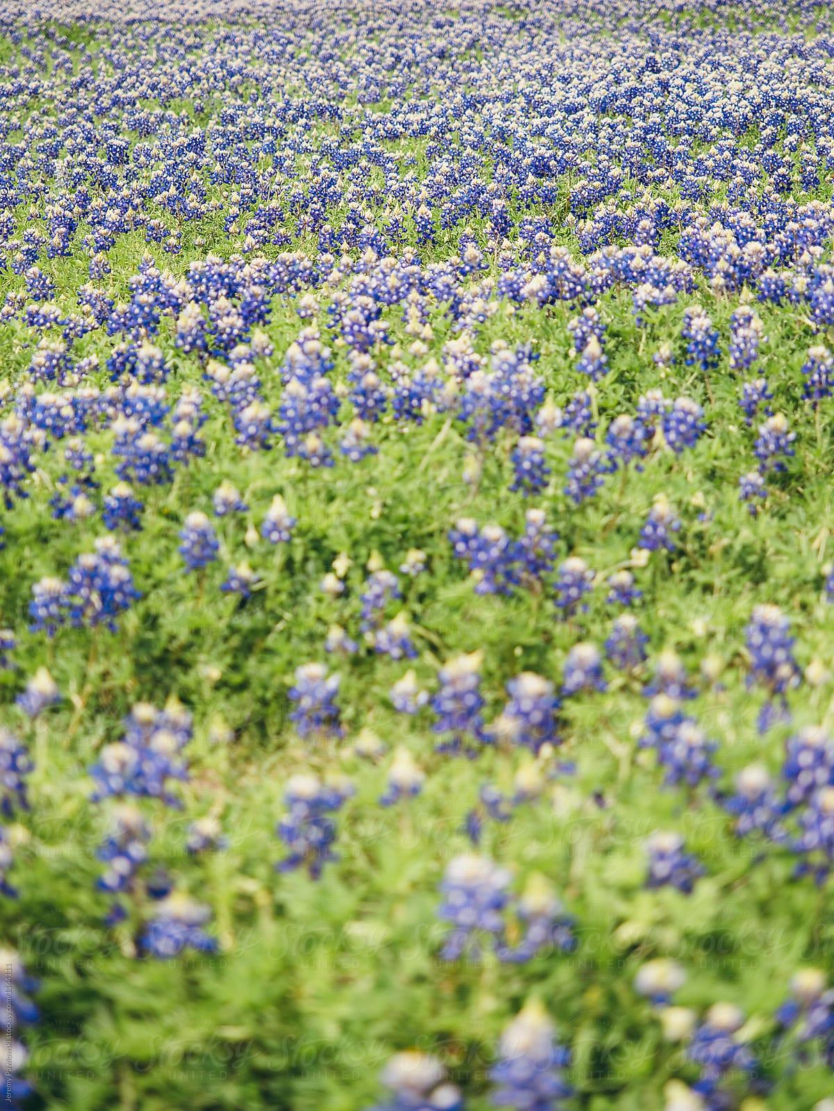 Field Of Bluebonnet Flowers Growing Near Bastrop Tx Stocksy United