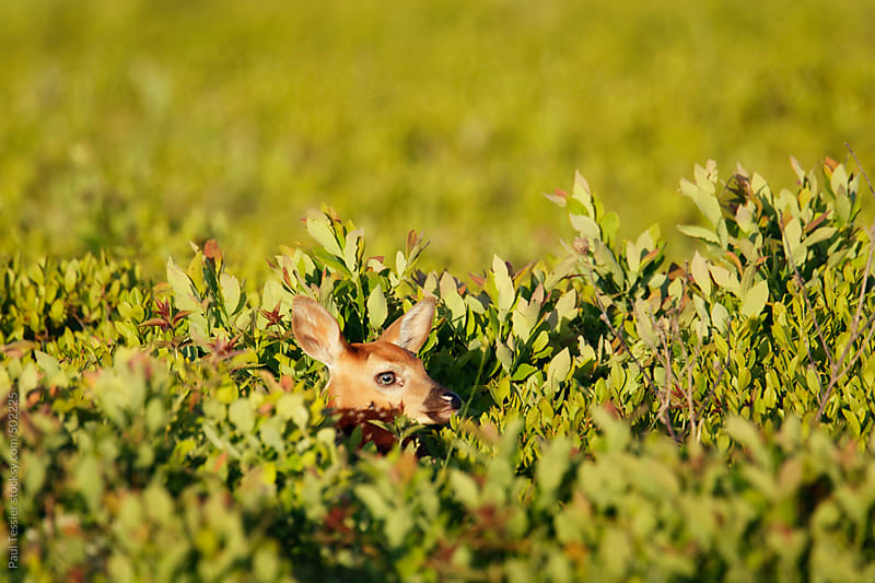 White-tailed Deer Fawn by Paul Tessier for Stocksy United