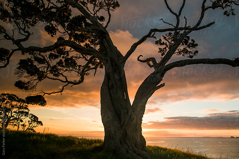 Beautiful tree silhouetted on sunrise by Gary Parker for Stocksy United