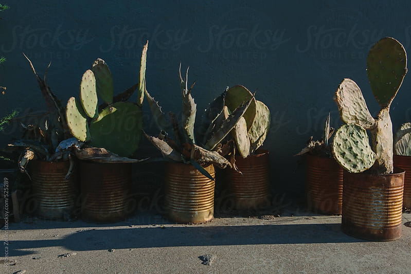 cactus plants potted in rusty cans by Rebecca Zeller for Stocksy United