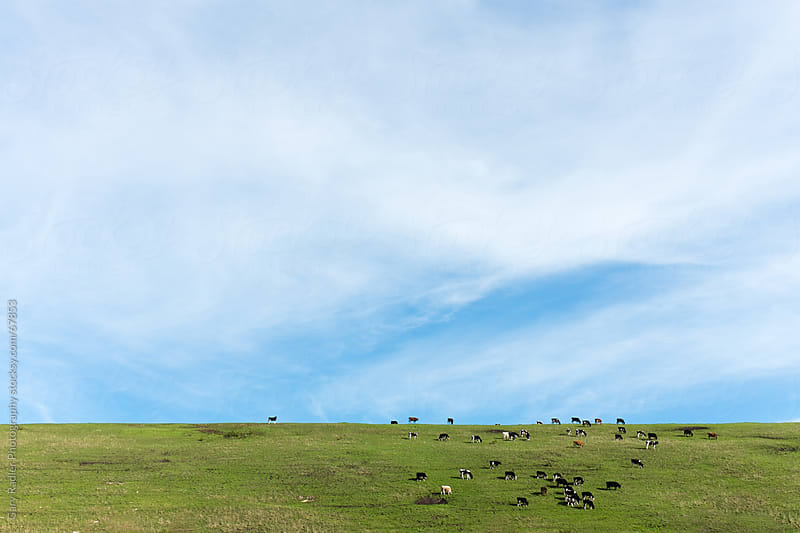 Cows Grazing on a Hill under a Big Sky by Gary Radler Photography for Stocksy United