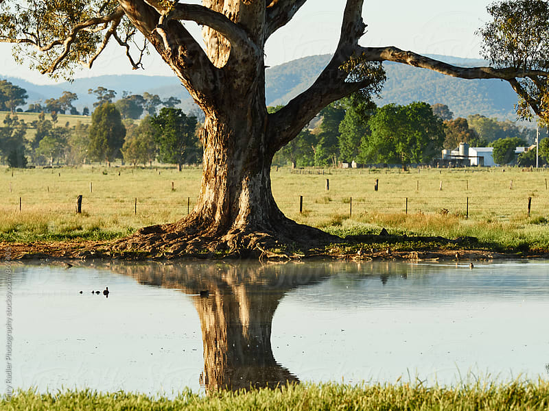 Large Eucalyptus Tree Reflected in Farm Dam by Gary Radler Photography for Stocksy United