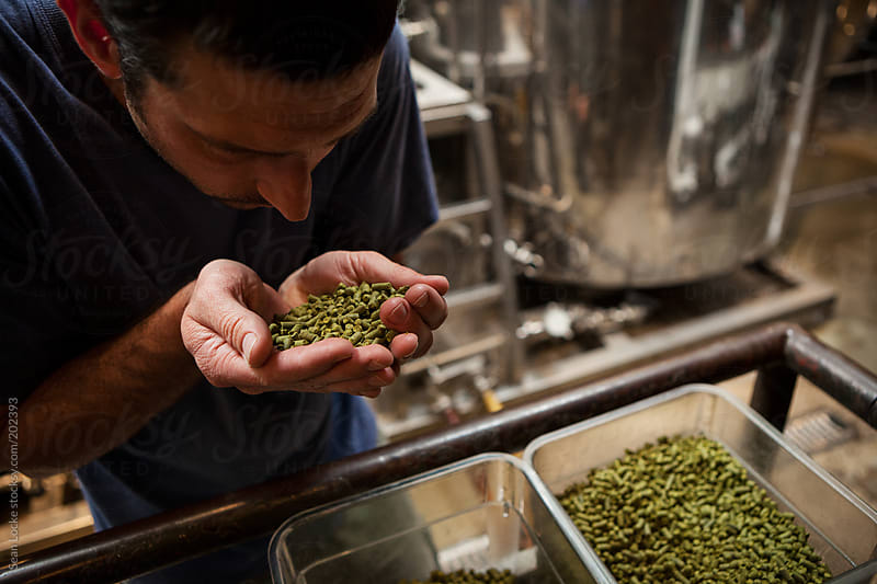 Beer: Brewer Smells Handfull Of Hops Pellets by Sean Locke for Stocksy United