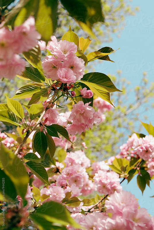 pink cherry tree flower spring blossom by Sonja Lekovic for Stocksy United