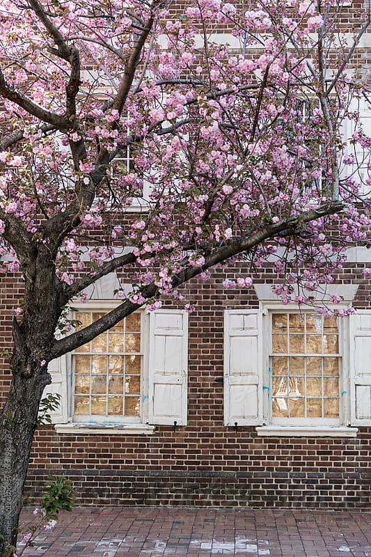 Magnolia tree in bloom in front of a house by Melanie Kintz for Stocksy United