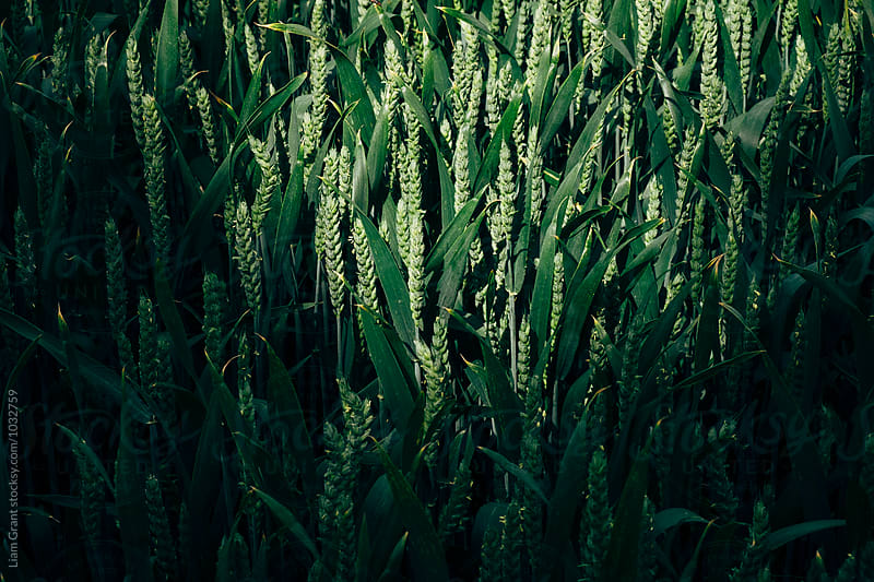 Shadow and sunlight on field of unripe wheat. Norfolk, UK. by Liam Grant for Stocksy United