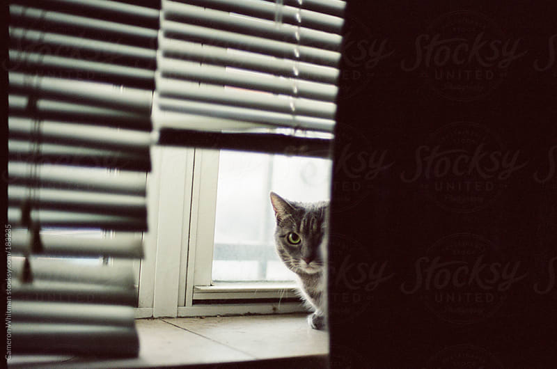 Nervous cat hiding behind blinds in a window frame  by Cameron Whitman for Stocksy United